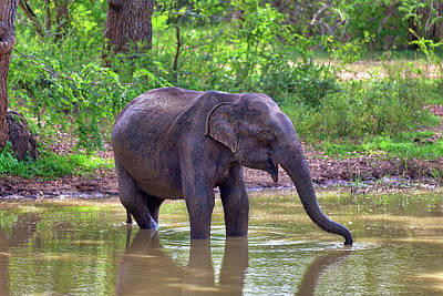 Photograph - an Indian Elephant while bathing in a pond in the Yala Nationalpark by Regina Koch