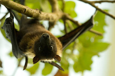 Hangs Upside Down Photograph - An Indian Flying Fox From The Sedgwick by Joel Sartore