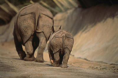 An Indian Rhinoceros And Her Baby Print by Michael Nichols