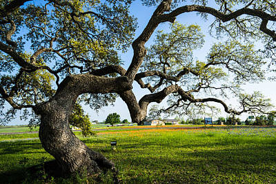 An Oak Tree Of Independence - Texas Print by Ellie Teramoto