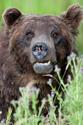 Photograph - An Old Bear Looking For A Meal by Frank Madia
