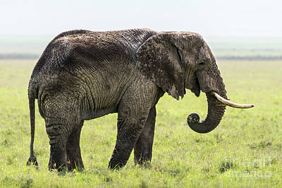 Photograph - An Old Elephant Eating Grass In The Ngorongoro Crater by RicardMN Photography