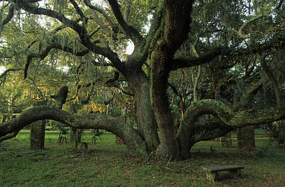 Plant Physiology Photograph - An Old Live Oak Draped With Spanish by Michael Melford