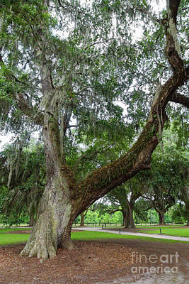 Photograph - An Old Oak Tree by Jennifer White