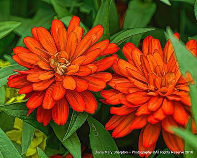 Photograph - An Orange Pair by Diana Mary Sharpton
