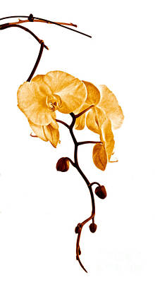 An Orchid's Perfume Print by Gwyn Newcombe