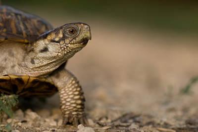 Box Turtle Photograph - An Ornate Box Turtle On A Hog Farm by Joel Sartore
