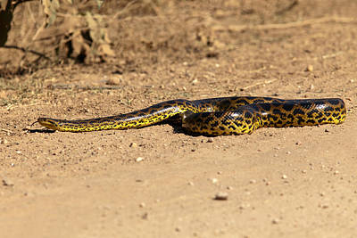 Photograph - Anaconda Crossing Transpantaneira by Aivar Mikko