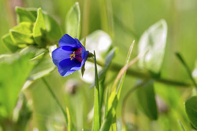 Photograph - Anagallis Arvensis by Paul Cowan