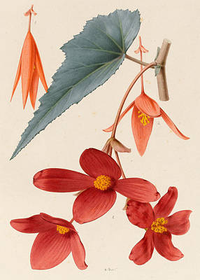 Analytical Drawing Of A Begonia Art Print by Alfred Riocreux