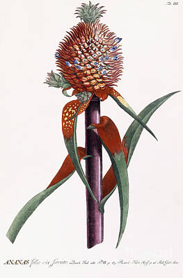Exotic Plants Drawing - Ananas  Pineapple by Georg Dionysius Ehret