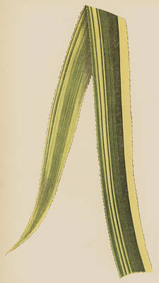 Bent Painting - Ananassa Sativa Variegata by English School