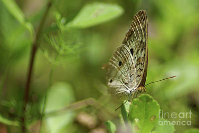 Photograph - Anartia Butterfly In Wonderland  by Olga Hamilton