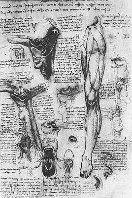 Closeups Drawing - Anatomical Studies, Larynx And Leg by Leonardo da Vinci