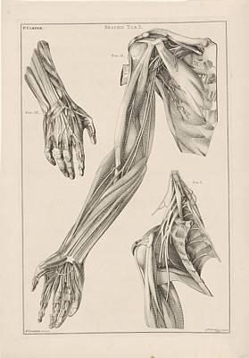 Drawing - Anatomie Van De Arm De Hand En De Schouder Jacob Van Der Schley After Petrus Camper 1762 by R Muirhead Art