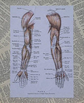 Anatomy Of Art Muscles Of The Arm Original by Laura Walters