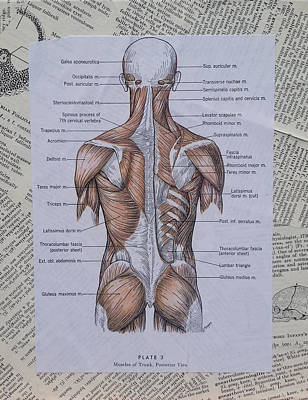 Anatomy Of Art Muscles Of The Back Original by Laura Walters
