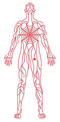 Drawing - Anatomy Of Human Body And Spider Web by Timothy Goodman