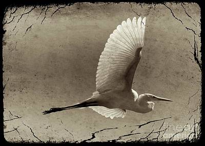 Photograph - Ancestral Great Egret by Carol Groenen