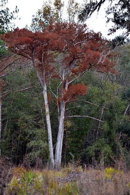 Photograph - Ancient Bald Cypress - Taxodium Distichum by rd Erickson