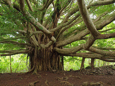 Photograph - Ancient Banyan Beauty by Phil Stone