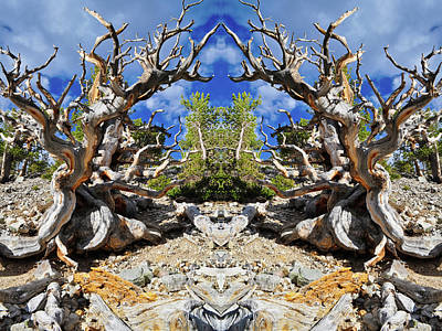Photograph - Ancient Bristlecone Mirror by Kyle Hanson