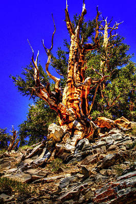 Photograph - Ancient Bristlecone Pine Forest by Roger Passman