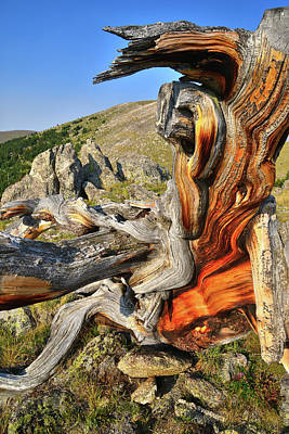 Photograph - Ancient Bristlecone Pine On Mt. Goliath by Ray Mathis