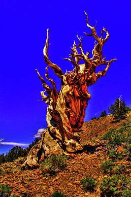 Photograph - Ancient Bristlecone Pine by Roger Passman