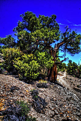 Photograph - Ancient Bristlecone Pine Tree by Roger Passman