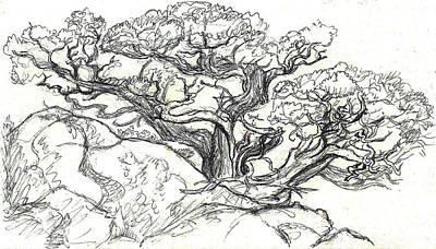 Drawing - Ancient Cedar Field Sketch by Dawn Senior-Trask