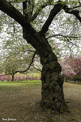 Photograph - Ancient Cherry Tree by Fran Gallogly