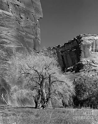 Ancient Cottonwood Tree- Canyon De Chelly Original by Arni Katz