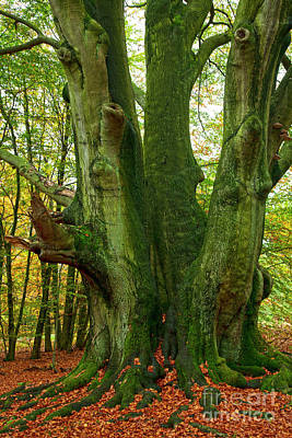 Woodscape Photograph - Ancient German Oak Trees In Sababurg by Heiko Koehrer-Wagner