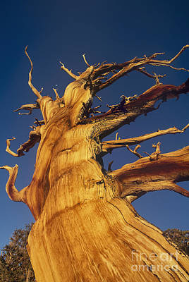 Photograph - Ancient Gnarled Bristlecone Pine Pinus Longeava by Dave Welling