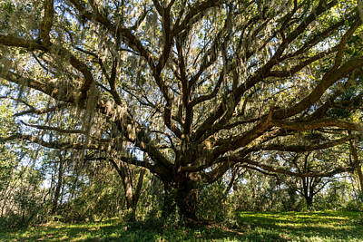 Photograph - Ancient Live Oak Tree by Serge Skiba
