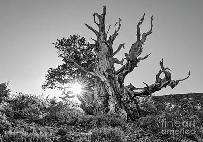 Oldest Living Tree Photograph - Ancient One by Jamie Pham