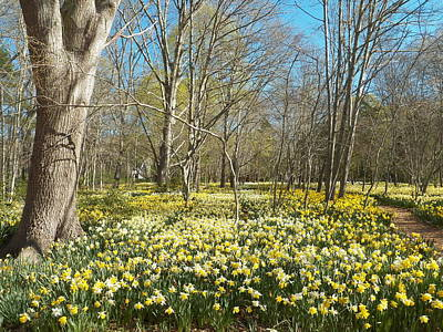 Photograph - And Before Me A Carpet Of Daffodils by Georgia Hamlin
