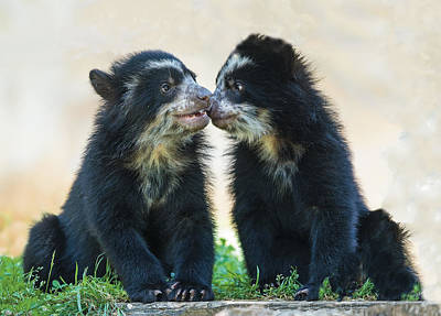 Photograph - Andean Bear Cubs Nose To Nose by William Bitman