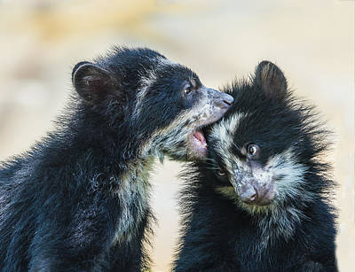 Photograph - Andean Bear Sibling Cubs by William Bitman