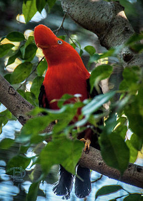 Photograph - Andean Cock-of-the-rock by Daniel Hebard