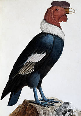 Condor Painting - Andean Condor by English School