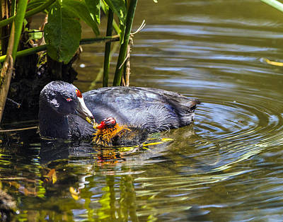 Photograph - Andean Coot Feeding Her Chick by William Bitman
