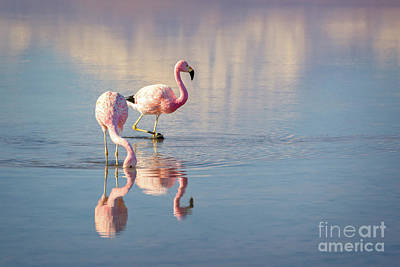 Birds Royalty-Free and Rights-Managed Images - Andean Flamingos in Chile by Delphimages Photo Creations