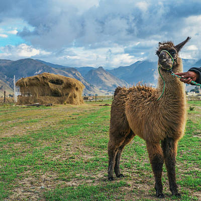 Photograph - Andean Llama by Alexandre Rotenberg