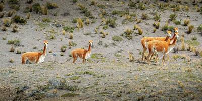 Photograph - Andean Llamas by Alexandre Rotenberg