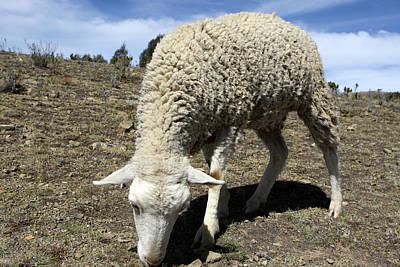 Photograph - Andean Sheep by Aidan Moran