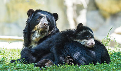 Photograph - Andean Speckled Bear And Her Cub by William Bitman