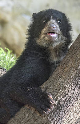 Photograph - Andean Speckled Bear Cub Portrait by William Bitman