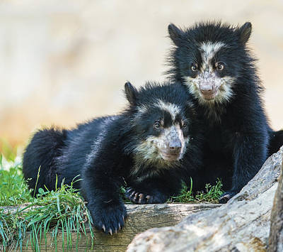 Photograph - Andean Speckled Bear Cub Siblings Portrait by William Bitman